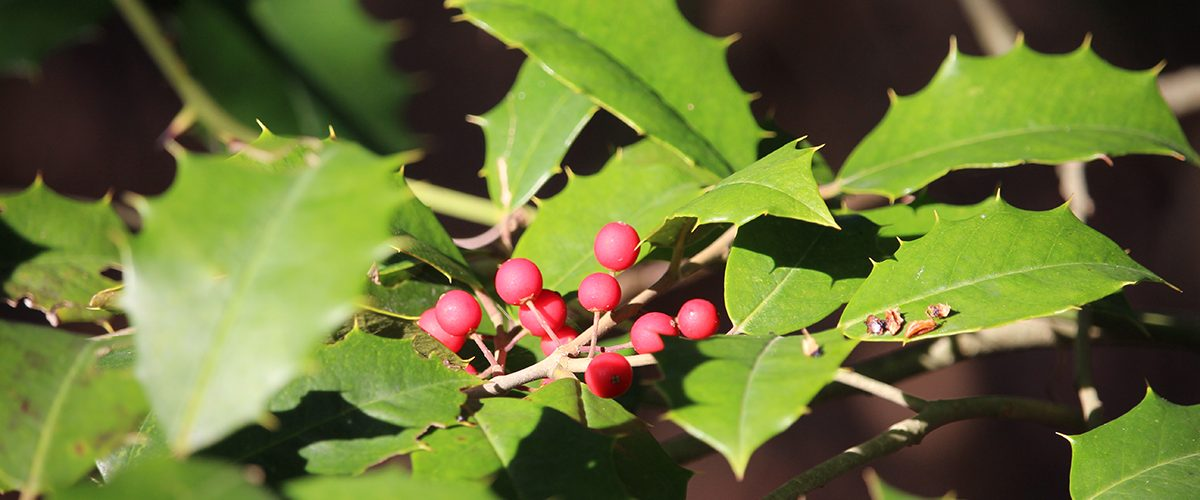 Hollyberry